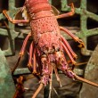 Alive lobster in an aquarium - Stock Photo