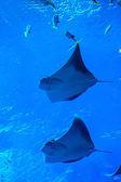 Stingray fish. Aquarium tropical fish on a coral reef — Stock Photo