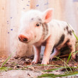 Close-up of a cute muddy piglet running around outdoors on the f — Stock Photo #25757645
