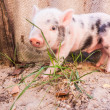 Close-up of a cute muddy piglet running around outdoors on the f — Stock Photo