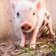 Close-up of a cute muddy piglet running around outdoors on the f — Stock Photo #25757685