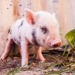 Close-up of a cute muddy piglet running around outdoors on the f — Stock Photo #25757705