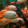 Tropical freshwater aquarium — Stock Photo #26062233