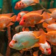 Tropical freshwater aquarium — Stock Photo #26062235