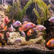 Ttropical freshwater aquarium with fishes — Stock Photo #26062269
