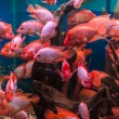 Tropical freshwater aquarium — Stock Photo #26062571