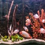 Tropical freshwater aquarium — Stock Photo