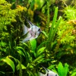 Freshwater aquarium with fish pterophyllum scalare — Stock Photo #26062599