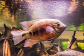 Shoal of piranha fishes in an aquarium — Stock Photo