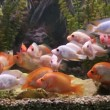 Ttropical freshwater aquarium with fishes — Stock Video