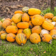 Pumpkins in pumpkin patch waiting to be sold — Stock Photo