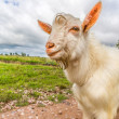Portrait of a funny goat looking to a camera over blue sky backg — Stock Photo