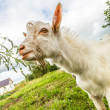 Portrait of a funny goat looking to a camera over blue sky backg — Stock Photo #31102037