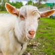 Portrait of a funny goat looking to a camera over blue sky backg — Stock Photo #31102183