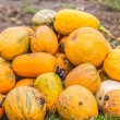 Stock Photo: Pumpkins in pumpkin patch waiting to be sold