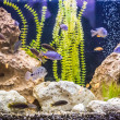 Ttropical freshwater aquarium with fishes — Stock Photo #31656623