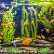 Stock Photo: Ttropical freshwater aquarium with fishes