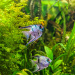 Freshwater aquarium with fish pterophyllum scalare — Stock Photo #31658887
