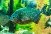 Shoal of tropical piranha fishes in freshwater aquarium — Stock Photo