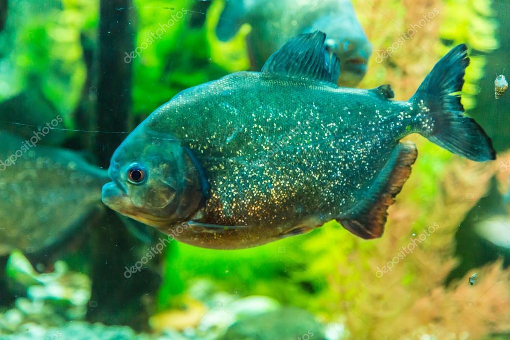 Branco di pesci tropicali piranha in acquario d 39 acqua for Pesci acqua dolce fredda