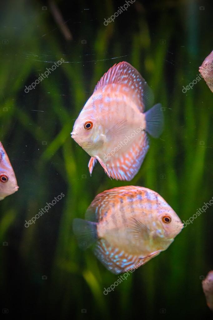 Acquario con pesci tropicali del symphysodon discus for Pesci tropicali acquario