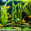 Ttropical freshwater aquarium with fishes — Stockfoto