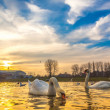 Swan family at sunset — Stock Photo