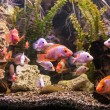 Ttropical freshwater aquarium with fishes — Stock Photo #40595599