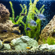 Ttropical freshwater aquarium with fishes — Stock Photo