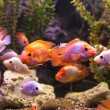 Ttropical freshwater aquarium with fishes — Stock Photo #40601215