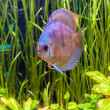 Stock Photo: Aquarium with tropical fish of Symphysodon discus spieces
