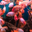 Foto Stock: Ttropical freshwater aquarium with fishes