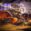 Shoal of piranhfishes in aquarium — Stock Photo #40601395
