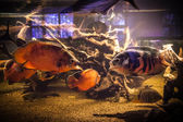 Shoal of piranha fishes in an aquarium — Stock Photo