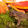 Stock Photo: Toad is sitting on amanita