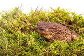 Toad is sitting on moss — Stock Photo