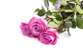 Een verse roze roos — Stockfoto