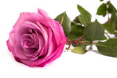 One fresh pink rose — Stock Photo