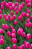 Pembe çiçek lale alan holland — Stok fotoğraf
