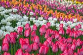 Campo flor multicolor del tulipán en holanda — Foto de Stock