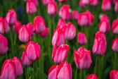 Rote blume-tulpenfeld in den niederlanden — Stockfoto