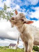 Portrait of a goat eating a grass on a green meadow — Stock Photo