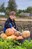 Cute boy with a wheelbarrow full of pumpkin — Stock Photo