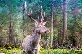 Whitetail deer — Stock Photo