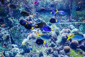 Tropikalna ryba akwarium na rafy koralowej — Zdjęcie stockowe