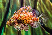 Close up view of a venomous Red lionfish — Stock Photo