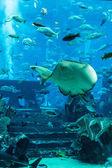 Рыба скат. Аквариумные тропические рыбы кораллового рифа — Стоковое фото