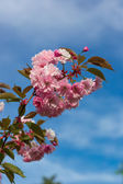 Beautiful Cherry blossom , pink sakura flower — Stock Photo