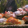 Tropical freshwater aquarium with big red fish — Stock Video #45696043