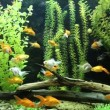 Green beautiful planted tropical freshwater aquarium with fishes — Vidéo #45696091